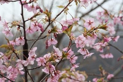 150307 カワヅザクラ(北側)2  ブログ用.jpg