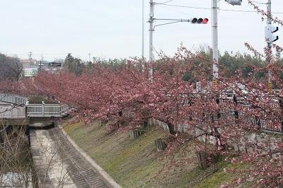 150307 カワヅザクラ(西側)2 ブログ用.jpg