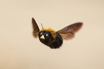 クマバチの画像 p1_29