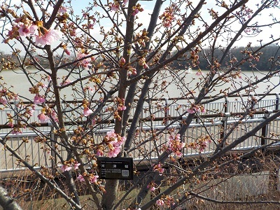 2016.02.17 河津桜ブログ用.jpg